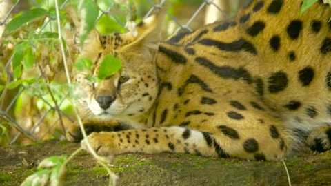 An African serval lying near a fence hisses at the camera