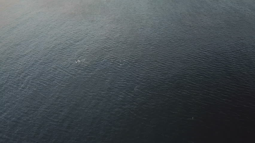 Pod of Whales in the ocean seen from aerial view | Shutterstock HD Video #1009390955