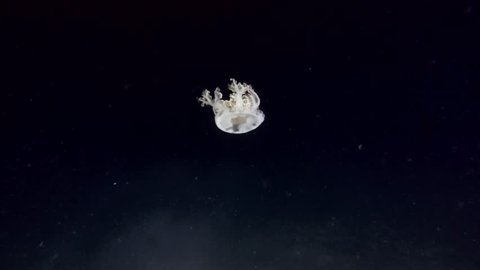 Upside Down Jellyfish or Cassiopea Jellyfish swim in the night