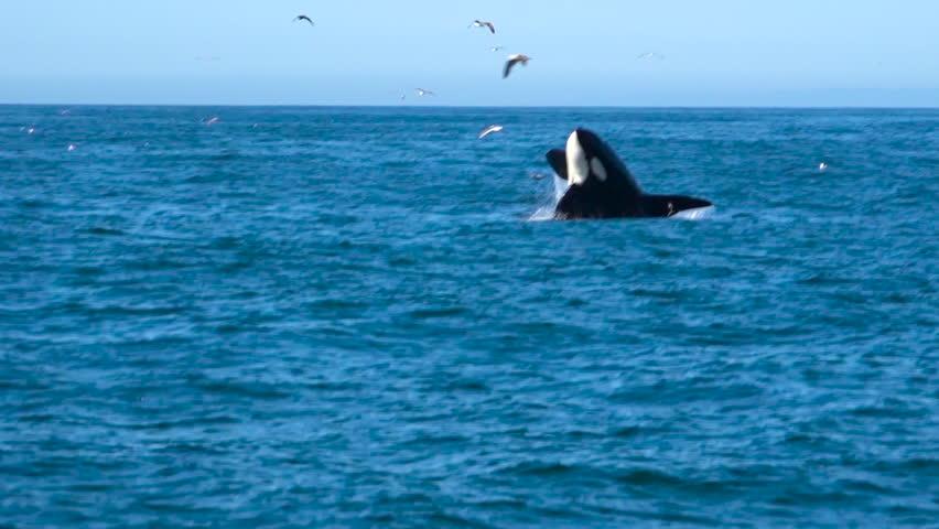 SANTA BARBARA, CALIFORNIA - CIRCA 2017 - Huge Orca killer whale breaching in the Pacific Ocean near the Channel Islands Santa Barbara California.