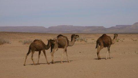 Group of camels walking in Sahara desert, 4k