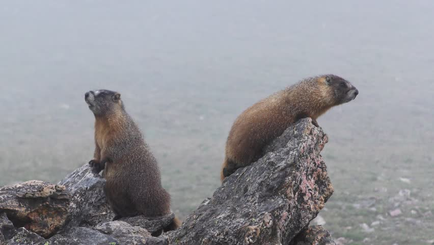 Yellow-bellied Marmot Adult Pair Calling Communicating Barking Summer #1009519265