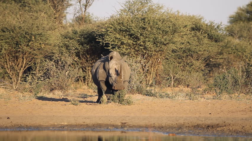 A big male white rhinoceros (Ceratotherium simum) marking its territory, South Africa