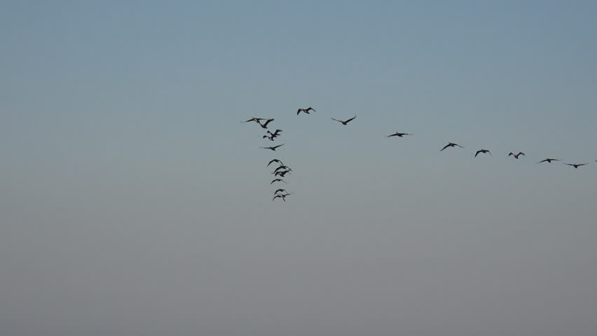 Birds fly in a flock over ocean water very low, migration of wild ducks