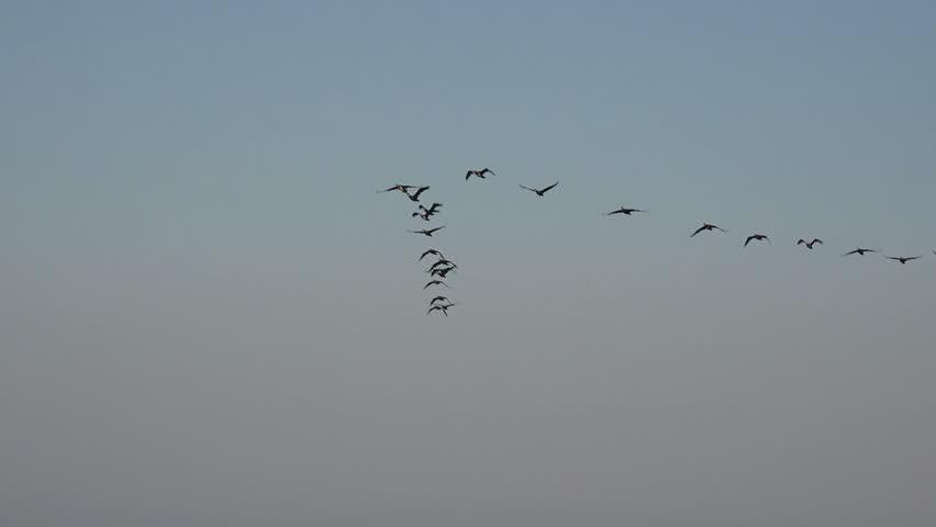 Birds fly in a flock over ocean water very low, migration of wild ducks | Shutterstock HD Video #1009567025
