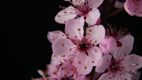 4K macro time lapse video of a beautiful cherry fruit tree flower growing on a black background/Cherry flower blossoming 4k macro time lapse