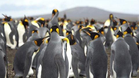 Big crowd of King Penguins Colony on Volunteer Point, Falkland Islands.