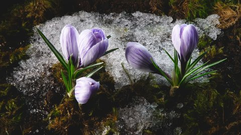 Early spring. Snow melting and crocus flower blooming in spring. Time lapse. Close up