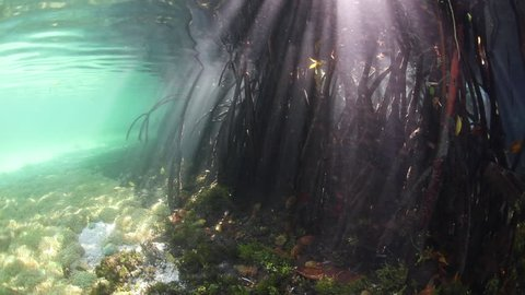 Beams of sunlight filter through the canopy of a blue water mangrove forest and fall into the dark, underwater shadows in Raja Ampat, Indonesia. This region harbors extraordinary marine biodiversity.