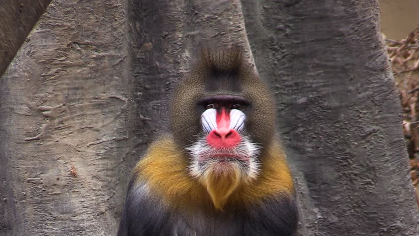 Mandrill (Mandrillus sphinx) in the zoo, colorful monkey