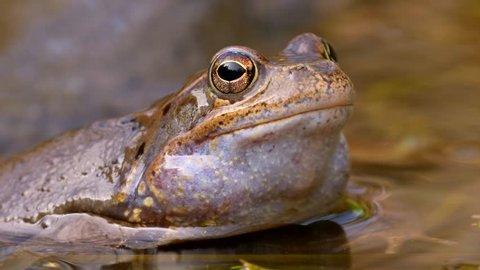 European common frog (Rana temporaria) mating
