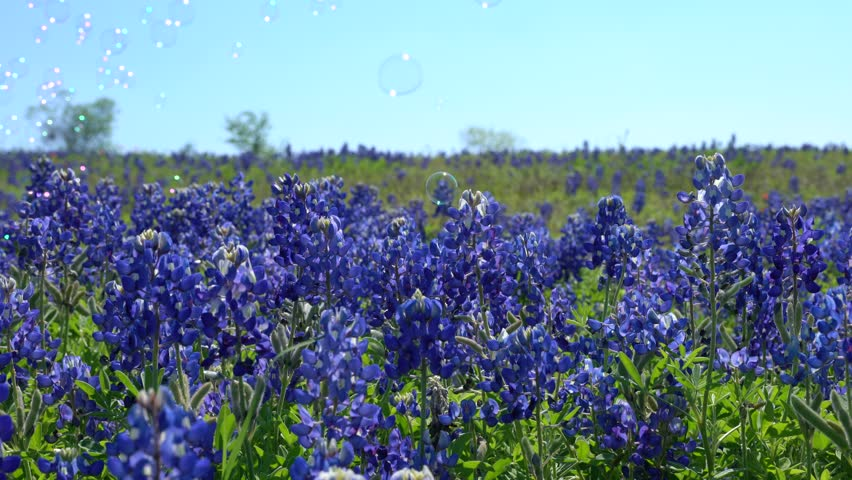 4k: Close up view of bluebonnet wildflowers in full bloom with bubbles in the background along the Bluebonnet Trails of Ennis, Texas, USA