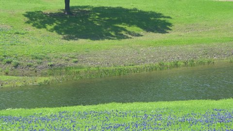 4k: View of the Landscape along the Ennis Bluebonnet Trails near Ennis, Texas, USA.  Showing patches of bluebonnet wildflowers near green hills and a pond