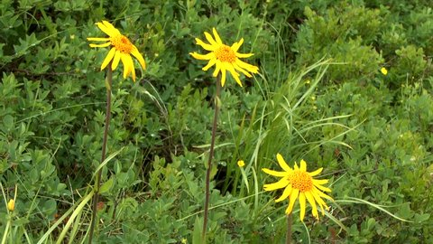 Flower of Mountain arnica (wolf's bane, leopard's bane, mountain tobacco), close-up.