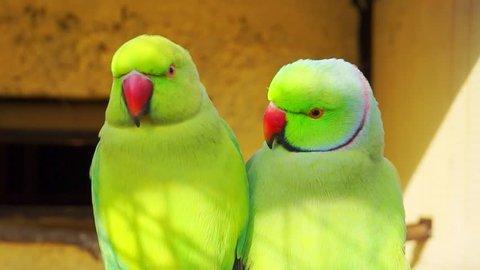 couple of Ringnecked Parakeet (Psitt??ul? kr?meri) close-up