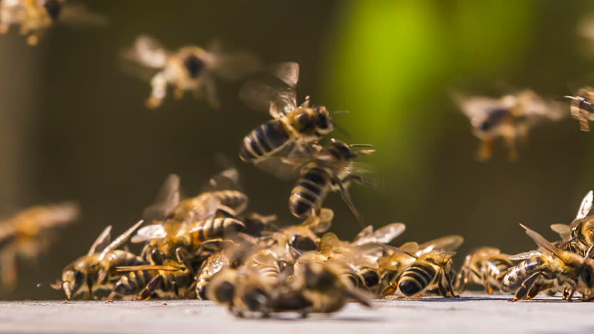 Bees collect honey from the surface | Shutterstock HD Video #1009847375