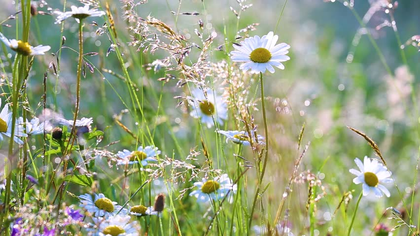 Beautiful floral nature background. Many fresh wild daisy flowers growing in summer sunny meadow outside.