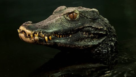 Close up view of the head of a crocodile (Paleosuchus palpebrosus). Dwarf Caiman.