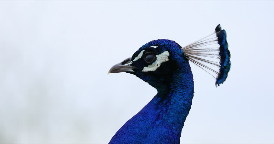 Peacock Head (Indian Peacock) Isolated on White Background. Close Up Portrait - DCi 4K Resolution