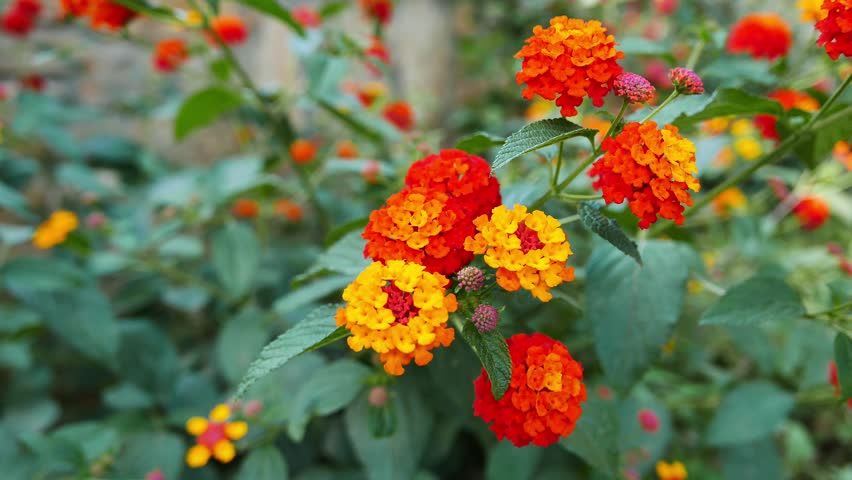 A close-up shot of a yellow and orange colored Lantana Camara flowers in the spring.