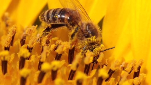 Macro of bee gathering pollen from sunflower in field
