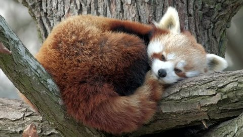 Red Panda, Firefox or Lesser Panda (Ailurus fulgens) resting in a tree.