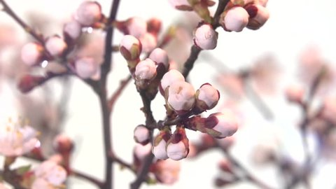 Apricot flower blossoming time lapse. Branch with blooming flowers apricot tree. Time lapse. High speed camera shot. Full HD 1080p. Timelapse