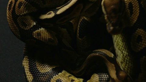 Pattern of ball python's snakeskin