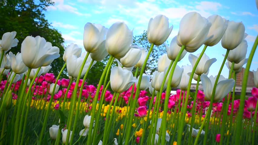Bright tulips flowers  on blue sky and clouds background. Beautiful springtime footage. | Shutterstock HD Video #1010059685