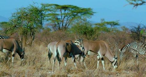 East African Oryx & Burchell'S Zebras Grazing; Samburu Kenya Africa