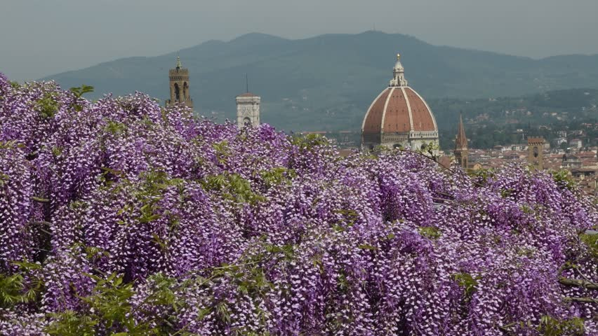 Beautiful view of Cathedral of Santa Maria del Fiore in Florence as seen from Bardini garden with blooming purple wisteria. 4K Ultra HD Video.
