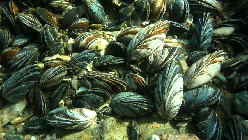 Settlement of mussels (Mytilus sp.) in shallow waters in the sun rays.