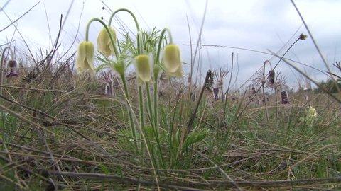 Pasque flower (Pulsatilla flavescens) on a meadow