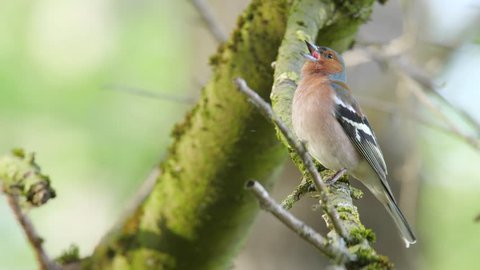 Common chaffinch. Singing male in spring.