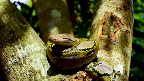 Beautiful close up of Phyton snake resting on the tree.