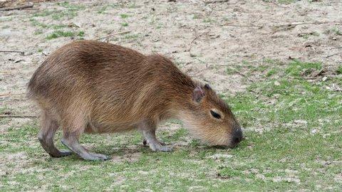 Capybara - Hydrochoerus hydrochaeris eats grass