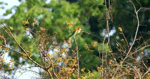Beautiful bird Chestnut headed Bee eater perched on branch bird of Thailand at Khao yai National park