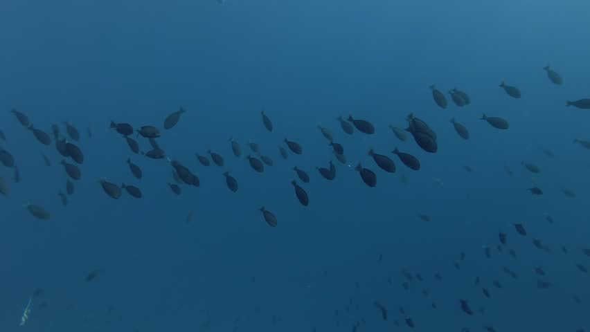 school of Yellowfin Surgeonfish, Acanthurus xanthopterus swims in the blue water