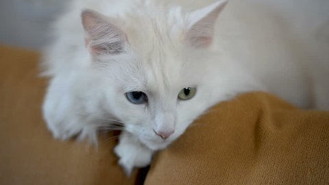 White Angora cat with multi-colored eyes is lying on the couch.