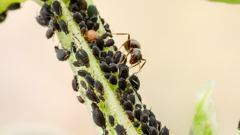 Shepherd ant milking aphids. Ant strokes the plant-louses with its antennae and they excrete a transparent sphere of sugar-rich honeydew that farmer insect sucks. Nature macro photography