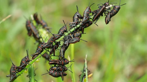 Eastern Lubber Grasshopper (Romalea microptera) nymphs (early instars) perch on blades of grass.