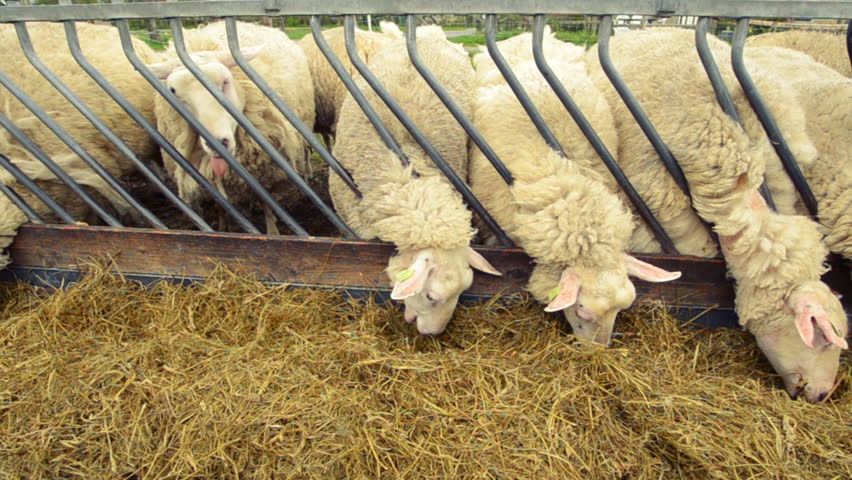 sheep learning how to open a self closing fenceline feeder