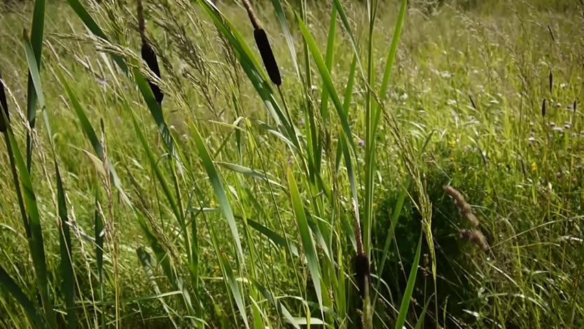 Typha latifolia, Common Bulrush, Broadleaf Cattail HD video footage