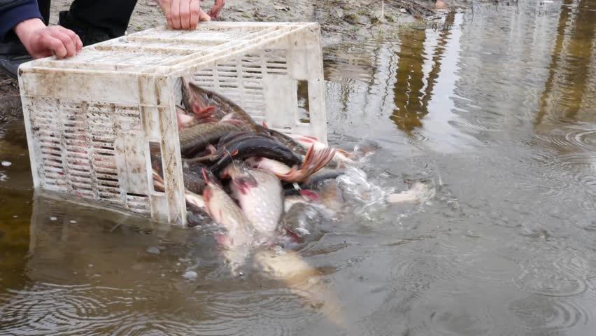 Salah satu bentuk fang sheng adalah melepaskan ikan ke alam.