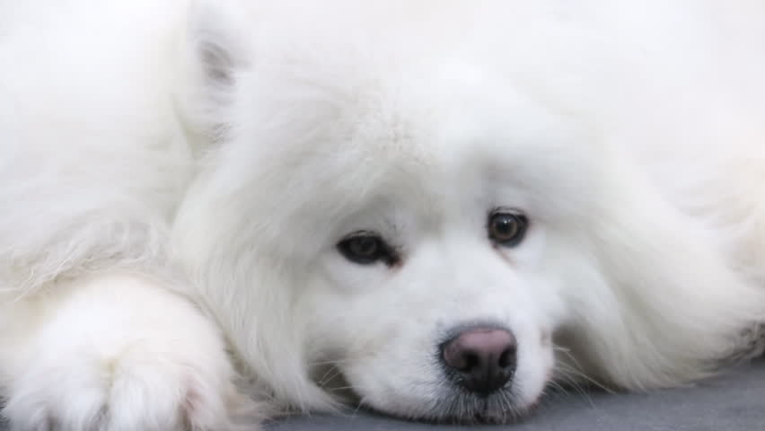 The cute dog, Samoyed dog want to sleep in house.