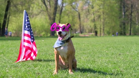 Beautiful trained pitbull terrier poses in masquerade eyeglasses on warm sunny day outdoors, american flag in background as concept of Independence Day