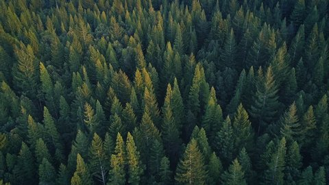 Aerial: flying over a pine tree forest in Humboldt country, USA