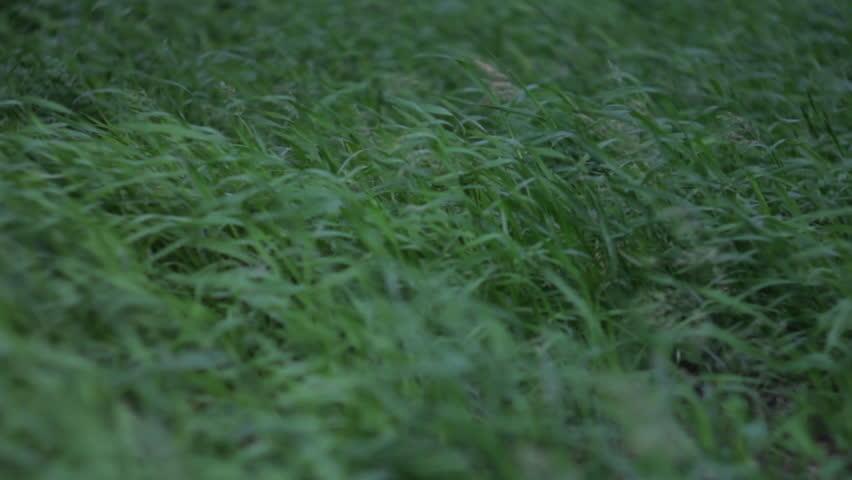 Wind picks up the grass. Green grass waving.