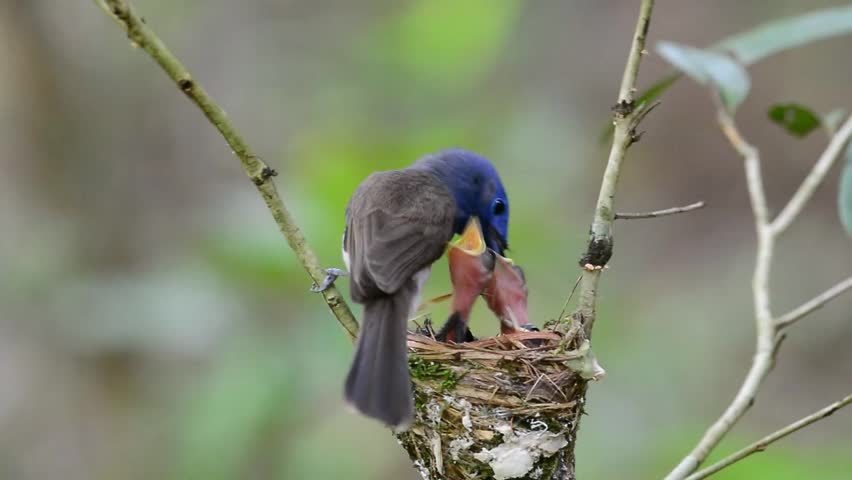 Parents of Black-naped monarch, the beautiful blue birds feeding their chicks while in the nest, the beautiful blue birds play their role as fatherhood and motherhood | Shutterstock HD Video #10106267