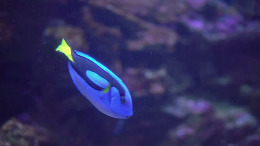 Regal Tang Fish or Palette Surgeonfish or Blue Tang Swimming on Coral Reef. 4K Video Clip
